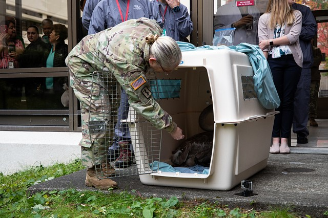 Deputy Commanding Officer Col. Suzie Scott tries to coax the young pair of mute swans out of their crate and into the inner pond at Madigan Army Medical Center on Joint Base Lewis-McChord, Wash., on Oct. 24.