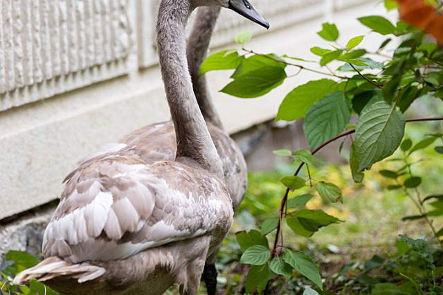 Mute swan cygnets Madi and Lewi arrive and explore the inner pond environment at Madigan Army Medical Center on Joint Base Lewis-McChord, Wash., on Oct. 24 as they become the latest pair to grace the Madigan Pond in a succession that stretches back to 1993.