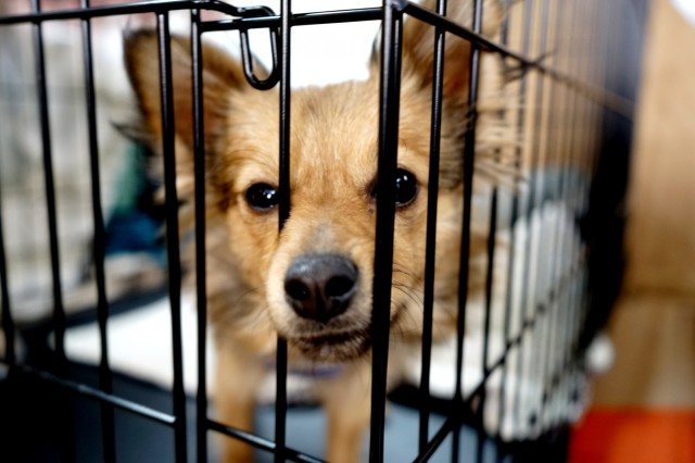 Pancake, a resident of the Chico Municipal Airport temporary animal shelter, peers through her cage in Chico, California, Nov. 18, 2018. Pancake is one of nearly 1800 displaced animals displaced being cared for in shelters managed by the North Valley Animal Rescue Group after the Camp Fire destroyed nearly 8,000 homes.