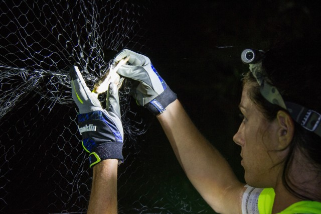 Morgan Torres, wildlife biologist, Fort Campbell Fish and Wildlife pulls a female red bat out of the mist net on Fort Campbell, Ky, July 18, 2018. Mist nets are used by ornithologists and bat biologists to capture wild birds and bats for average counts and other projects. (US Army photo by Sgt. Patrick Kirby, 40th Public Affairs Detachment.)