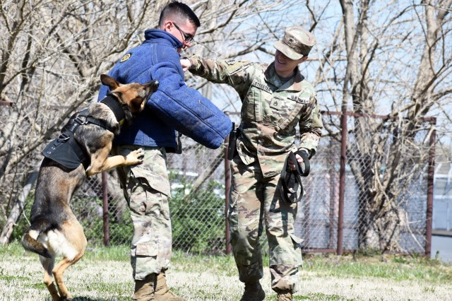 Staff Sgt. Kayla Streeter, right, unzips a protective jacket on Spc. Caleb Nicholas while military working dog Bill, a Belgian Malinois, practices fugitive apprehension during a John O. Arnn Elementary School job shadowing event at Camp Zama April 4. All three Soldiers are assigned to the 901st Military Police Detachment.