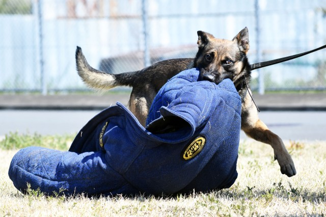 Military working dog Bill, a Belgian Malinois assigned to the 901st Military Police Detachment, plays with a protective jacket after successfully practicing fugitive apprehension during a John O. Arnn Elementary School job shadowing event at Camp Zama April 4.