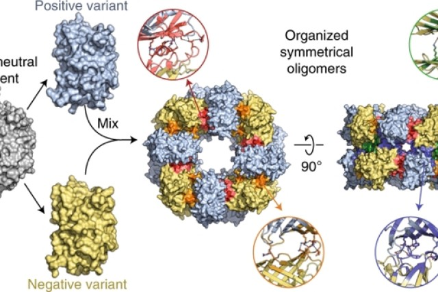 Researchers combined pairs of oppositely charged synthetic proteins to form hierarchical ordered, symmetrical structures through a strategy they termed as supercharged protein assembly.
