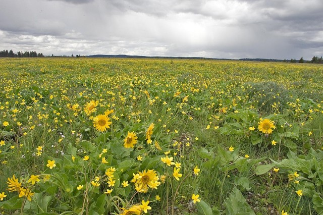 South Puget Sound prairies with Puget Balsamroot and the western buttercup on Joint Base Lewis-McChord recently.