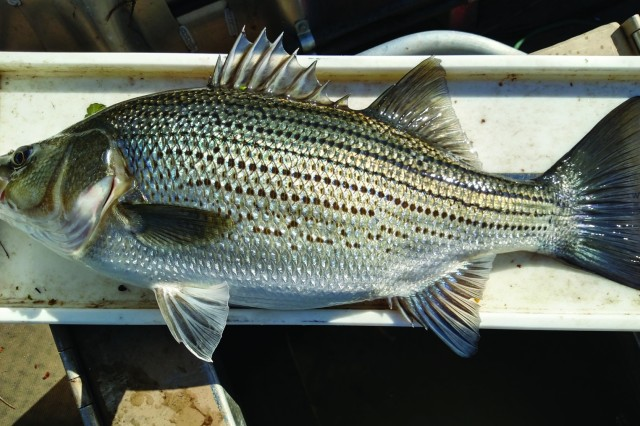 The biggest surprise during the entire fall 2018 fish population electrofishing survey was a 23-inch long, 6.93 pound hybrid striped bass.