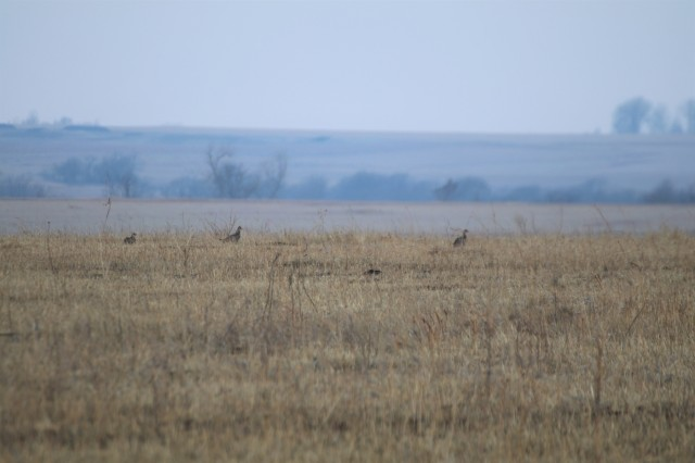 It's prairie chicken time - annual surveys, new study begins at Fort Riley