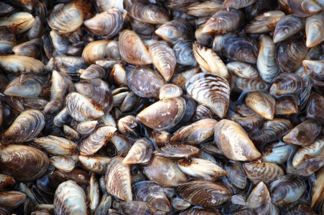 Zebra mussels were first discovered at the Gavins Point power plant in Sept. 2015.
