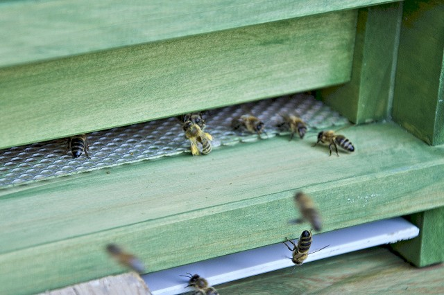 Bees make their way in and out of one of the hives at the Rheinblick Golf Course. Beekeepers will collect honey from the hives about twice a year, according to the Rheinblick superintendents.
