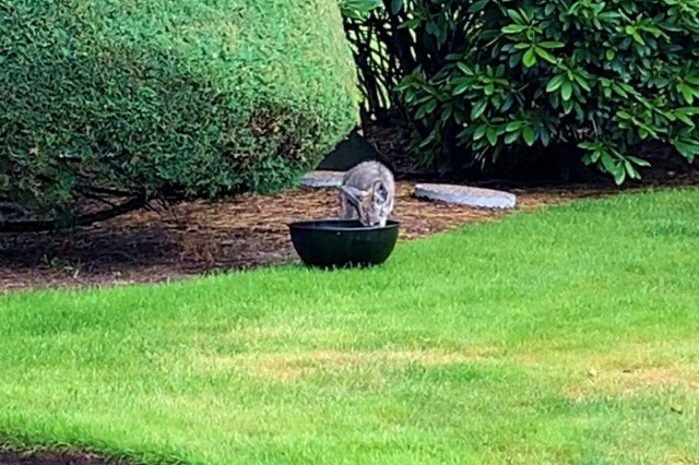 A coyote pup pauses while in the backyard of a home on Joint Base Lewis-McChord July 15.