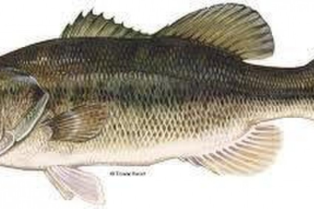 A courtesy photo provided by Fish and Wildlife Services depicts a Large Mouth Bass, one of several fish in Fort Stewart Ponds; which could be affected by pond turnover. (Photo courtesy of Fish and Wildlife Services)