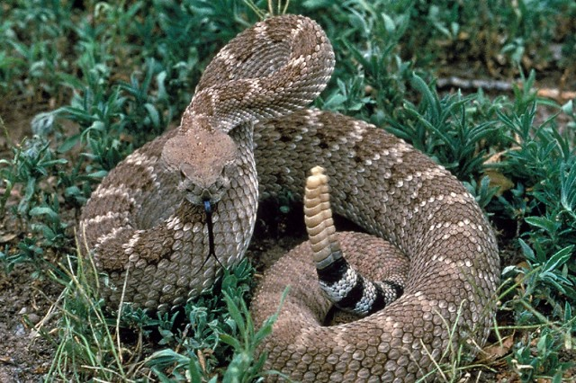 A Western Diamondback is seen in this undated file photo. People can usually prevent being bitten by a snake by simply leaving it alone. Most snakes just want to go their own way.