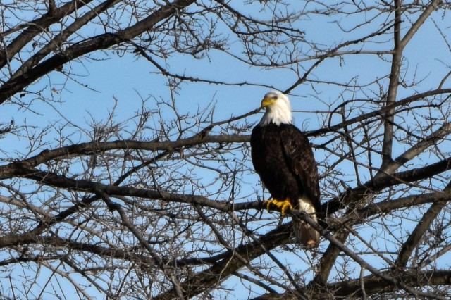 After several years of low tallies, bald eagles made a resurgence in the Fort Riley area during the 2018-2019 season. Compared to numbers observed last season -totaling little more than 50 - bald eagles observed Jan. 30 by wildlife biologist Mike Houck, environmental division, Directorate of Public Works, increased more than six-fold, topping 300.