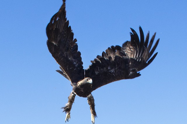 A rehabilitated golden eagle, after a month of recuperation from illness, is returned to the high desert on and around Dugway Proving Ground, Utah.