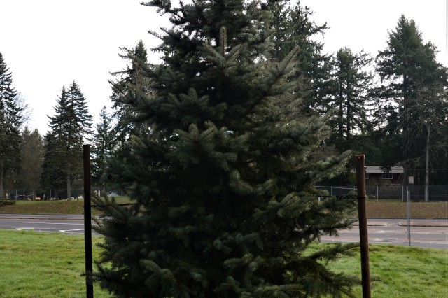 A newly-planted blue spruce tree stands in the Commanding General's Arboretum at Joint Base Lewis-McChord Jan. 27 to commemorate Lt. Gen. Gary Volesky's time as I Corps commanding general.