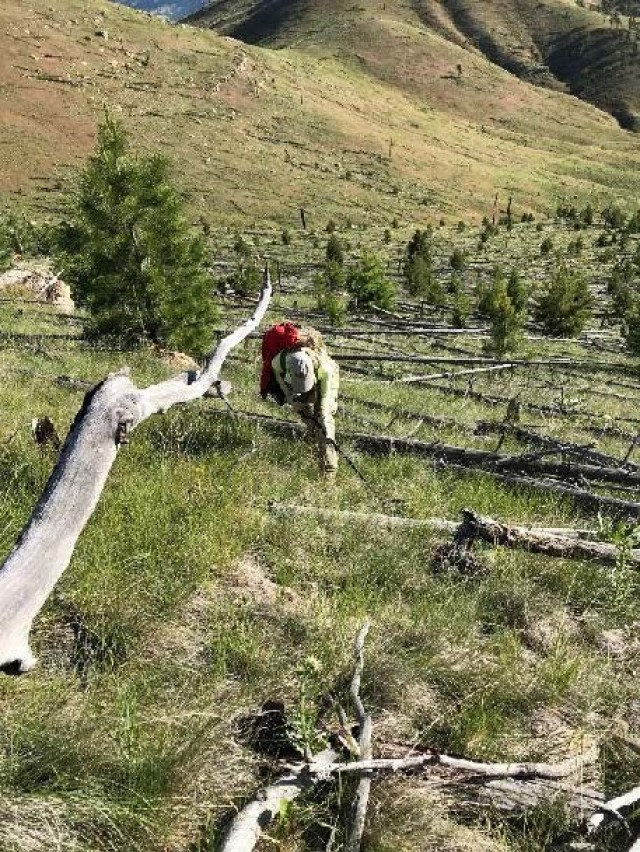A UXO team member investigates a transect in the North Helena Valley East MRS.  Notice the steep terrain and the dead fall of trees, which are typical for a Montana UXO remediation site.