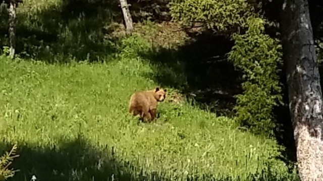 A grizzly bear cub spotted during the Helmville munitions response site remedial investigation.  Bears were spotted throughout the investigation and can be a threat at almost any remediation site in Montana.  Bear encounter safety is highly stressed during investigation safety meetings.