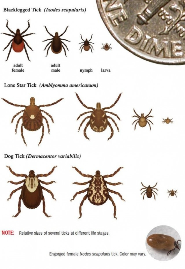 Currently found at many southern Army installations, the lone star ticks, named for the dot on their back and not for the Lone Star State, have been found moving into the northeast United States, including New York.