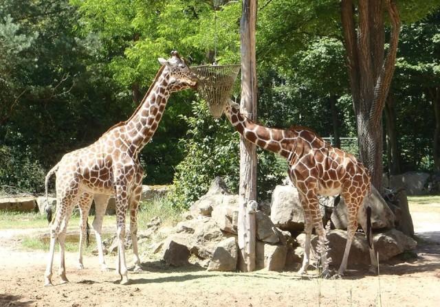 Giraffes at the Nürnberg zoo