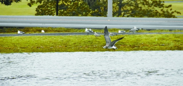 Seagulls, who rode Hurricane Laura's winds north, used Fort Polk's Youth Catfish Pond as a layover before returning south to Lake Charles.