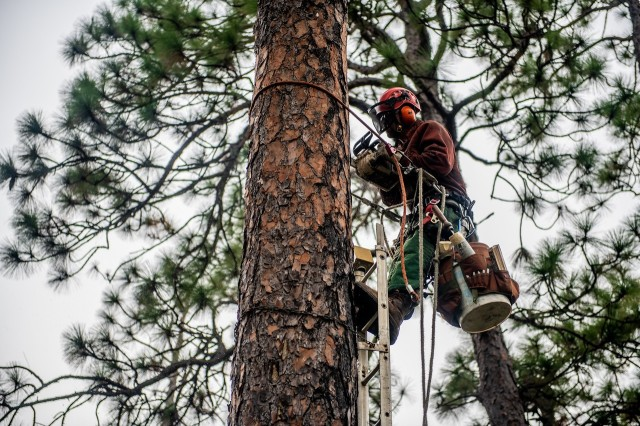 FORT BENNING, Ga. – At Fort Benning Oct. 21, a wildlife technician cuts a space in a pine tree for a wooden block, known as an artificial cavity or insert, to create a home for the red-cockaded woodpecker. Installing artificial cavities is one of various measures Fort Benning takes to foster an increase in the bird's population. The bird, also known as the RCW, has been on the endangered species list since 1970, but a federal-led effort to foster its recovery has succeeded to the point that authorities have proposed its status be changed from endangered to threatened. Installing the insert is Skip Kizzire, with the Natural Resources Management Branch of U.S. Army Garrison Fort Benning's Directorate of Public Works.(U.S. Army photo by Patrick A. Albright, Maneuver Center of Excellence and Fort Benning Public Affairs)