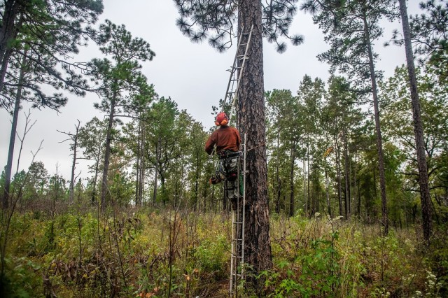 FORT BENNING, Ga. – At Fort Benning Oct. 21, a wildlife technician lengthens his ladder to reach the spot where he'll cut a space in a pine tree for a wooden block, known as an artificial cavity or insert, to create a home for the red-cockaded woodpecker. Installing artificial cavities is one of various measures Fort Benning takes to foster an increase in the bird's population. The bird, also known as the RCW, has been on the endangered species list since 1970. But a federal-led effort to foster its recovery has succeeded to the point that authorities have proposed its status be changed from endangered to threatened. Preparing to install the insert is Skip Kizzire, with the Natural Resources Management Branch of U.S. Army Garrison Fort Benning's Directorate of Public Works.(U.S. Army photo by Patrick A. Albright, Maneuver Center of Excellence and Fort Benning Public Affairs)