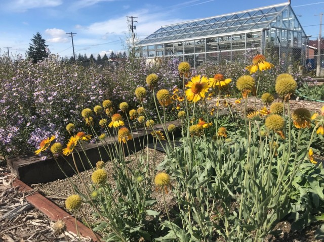 Growing beautiful native plants, blanket flowers, Gaillardia aristata and Douglas Aster, Symphyotrichum subspicatum, bloom in new seedbeds on Joint Base Lewis-McChord. Seed from the seedbeds will be sown on the prairies near the base to repair any damage from training.
