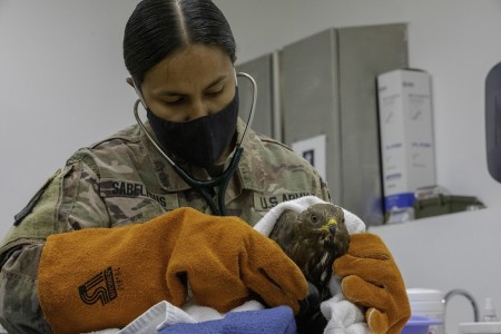 Army Cpt. Yesenia Stablehaus gently checks the heartbeat of an injured bird of prey at Camp Arifjan, Kuwait, Sept. 21, 2020.