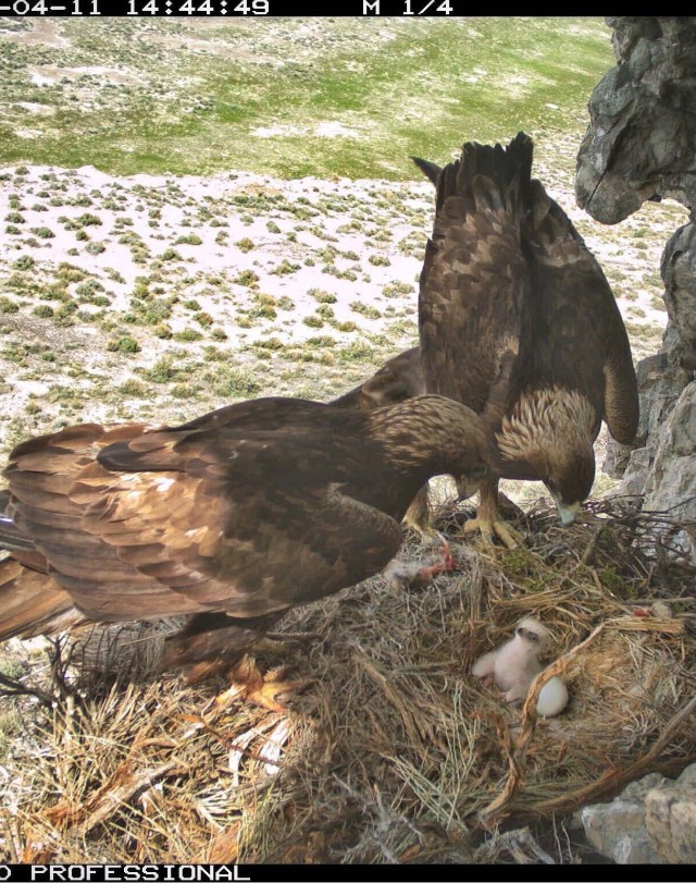 This photo showing golden eagle parents with their baby was taken by a nearby remote camera. Remote cameras were placed at nesting locations to compare against the three observation methods that were evaluated during the two-year project. Dugway Proving Ground photo.