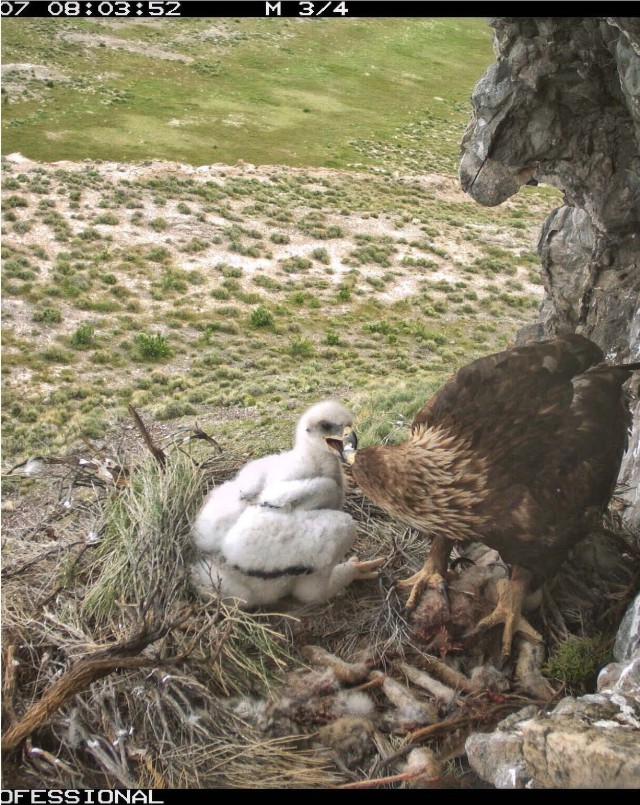 This photo showing a golden eagle feeding its baby was taken by a nearby remote camera. Remote cameras were placed at nesting locations to compare against the three observation methods that were evaluated during the two-year project. Dugway Proving Ground photo.