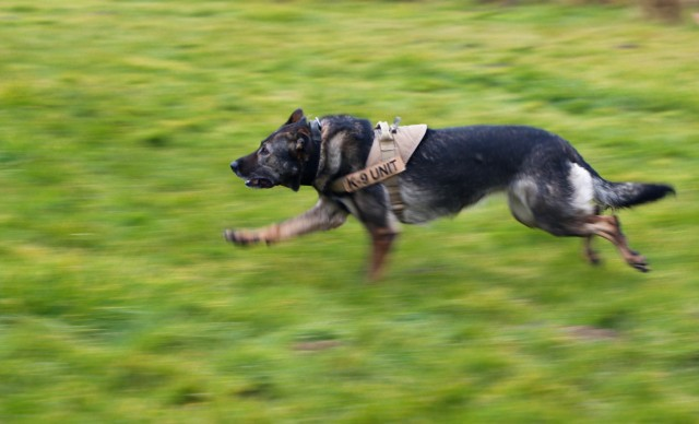 Pearl, a military working dog, chases after a role player in a bite suit during a demonstration in Ferizaj/Ferizaje, Kosovo, on Dec. 8, 2020. U.S. Army Cpl. Dustin Borchardt and his dog Pearl travelled to the School of Agribusiness and Food Technology to share knowledge about working dogs and build a relationship with the local community.