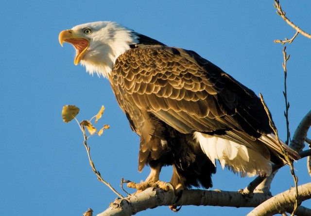 Department of Conservation's annual 'Eagle Days' revamped as series of virtual events