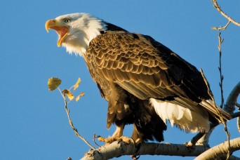 Flying high: Department of Conservation's annual 'Eagle Days' revamped as series of virtual events