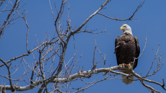 """ABERDEEN PROVING GROUND, Md. -A bald eagle perches on a branch at the Conowingo Dam near the town of Conowingo, Maryland. The """"line of sight"""" distance between APG and Conowingo Dam is 13.44 miles, according to photographer and birdwatcher Dave Lychenheim."""