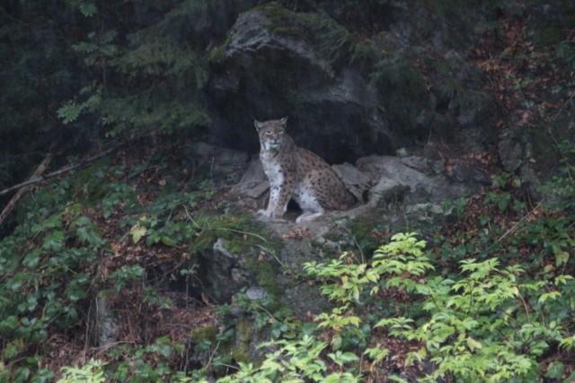 Bavarian Lynx