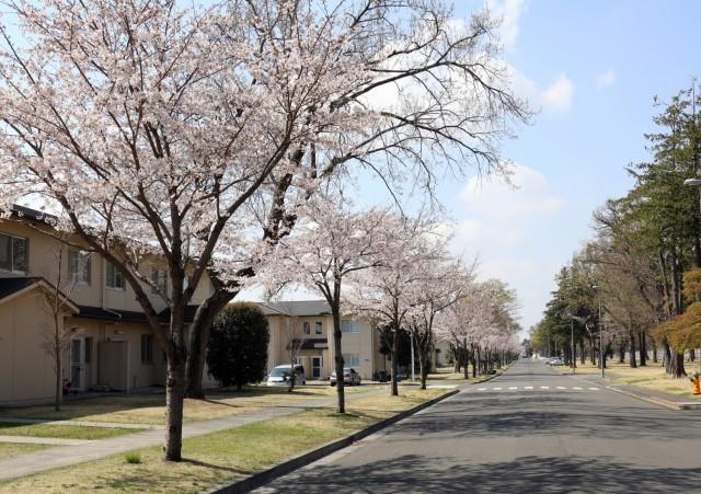 Cherry blossom trees bloom at Sagamihara Family Housing Area, Japan, March 26.