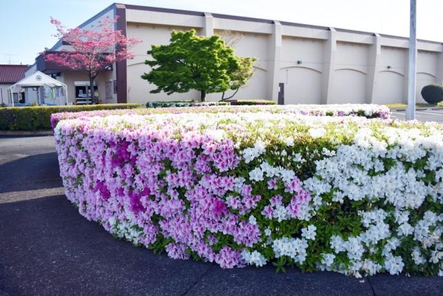 Azalea bushes bloom at Sagamihara Family Housing Area, April 22, 2020.