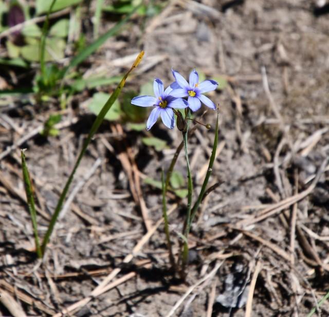 Narrow-Leaf Blue-Eyed Grass