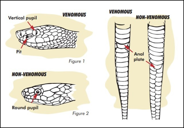These figures from the Kentucky Department of Fish and Wildlife Resources show the different ways to recognize a venomous snake versus a nonvenomous one.