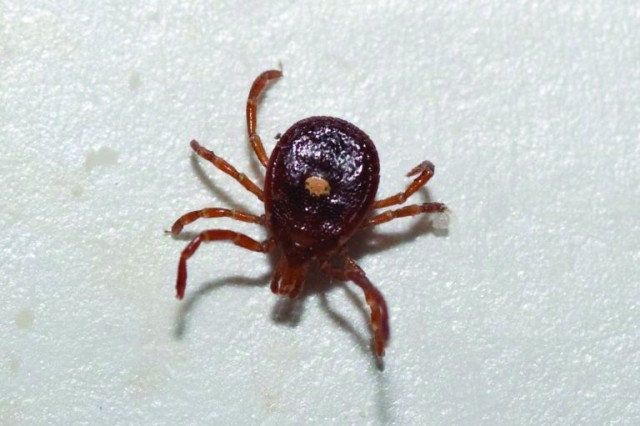 The three most common ticks in Missouri include the Lone Star tick, pictured, along with the American Dog Tick and the Deer Tick.