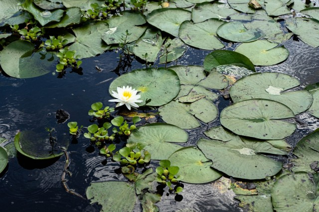 The impact of invasive aquatic plants like water hyacinth is devastating on native plants such as the water lily. The Water Hyacinth slowly encroaches on the lilies before succumbing to the water hyacinths aggressive nature.