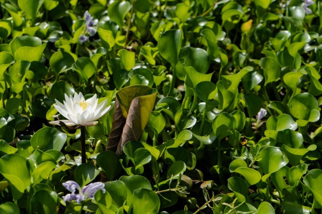 The impact of invasive aquatic plants like water hyacinth is devastating on native plants such as the water lily. The Water Hyacinths slowly encroachessuffocate on the fragrant white liliyes before succumbing to the water hyacinths aggressive nature.