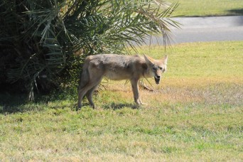 Coyotes among wildlife found at YPG