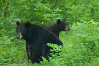 Conservation officials urge Missourians to be 'Bear Aware'