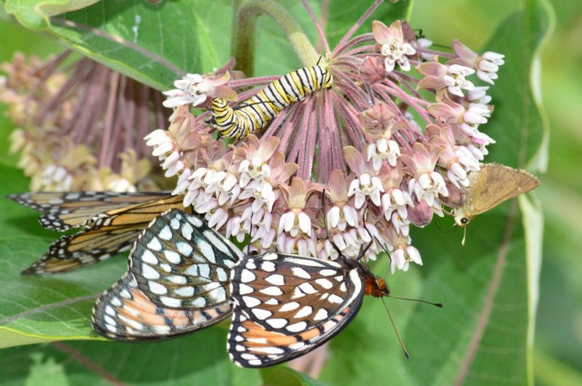 Three rare butterfly species, an Ottoe skipper, regal fritillary, and monarch butterfly, along with a monarch caterpillar, all attached to one common milkweed flower. Fort McCoy is home to one of the largest remaining populations of the regal fritillary butterfly and is the only location remaining in Wisconsin where Ottoe skipper butterflies are found. These species are thriving on Fort McCoy in part because disturbances resulting from military training improve the habitat for these species.