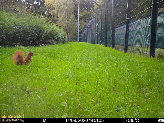 A squirrel has approached the fence at one of U.S. Army Garrison Benelux's Army prepositioned stock sites Sept. 17, 2020. (U.S. Army photo courtesy of Environmental Division, Directorate of Public Works, USAG Benelux)
