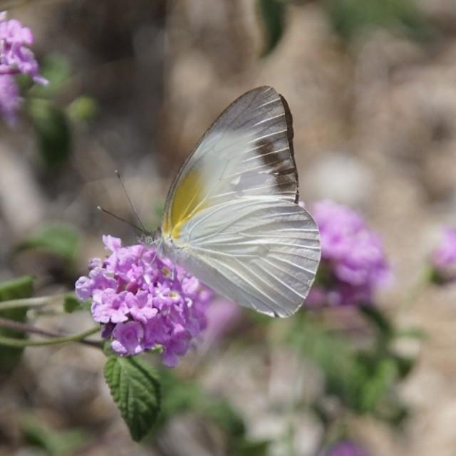 Female nectaring on purple trailing lantana.