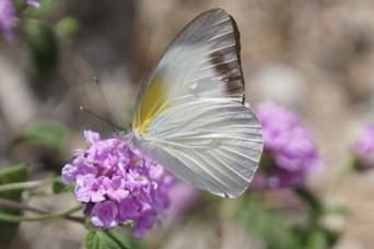 Rare butterfly visits WSMR Environmental